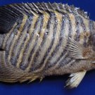 Gems Under the Sea 80826 Regal Angelfish Pygoplites diacanthus Fish Taxidermy Oddities