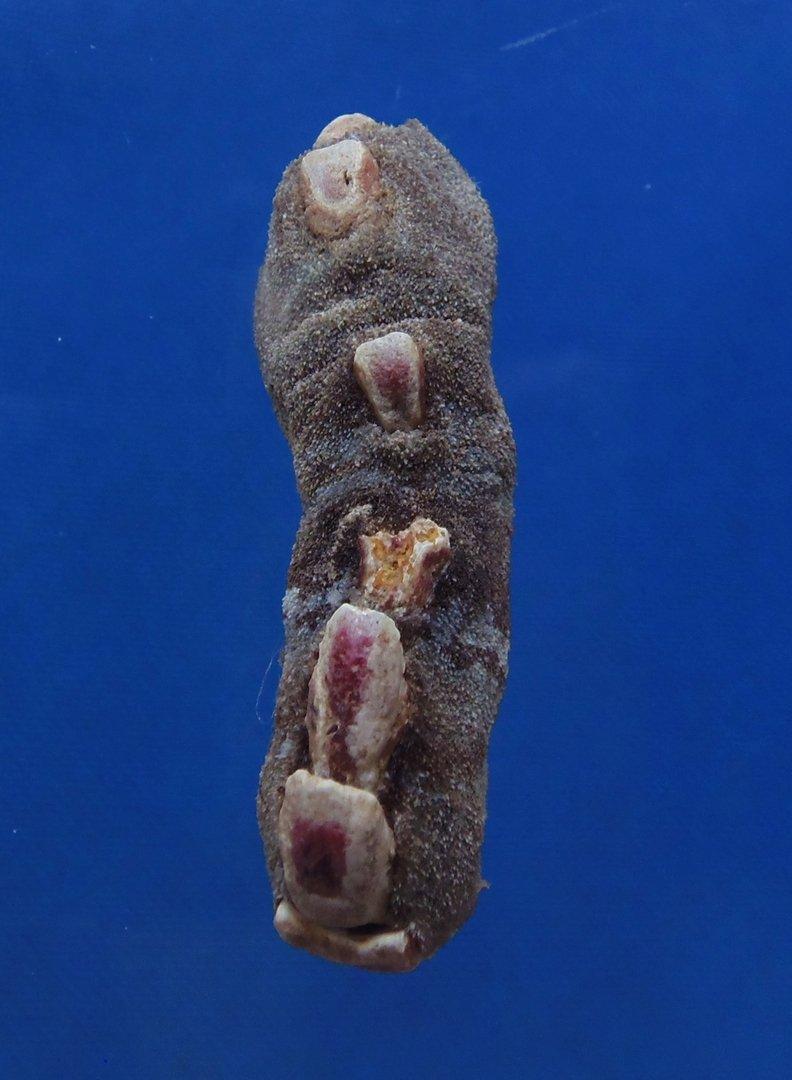 Gems Under the Sea 81617 Chiton Cryptoplax oculata, 47.4 mm