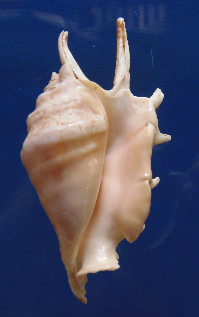 Gems Under the Sea 81400 Seashell Spider Conch Lambis lambis f. adamii, 80 mm
