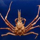 B245 Gems Under the Sea 87211 Spider Crab Naxioides mammillata 32 mm