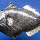 Gems Under the Sea 79386 Orange-lined Triggerfish- Balistapus undulatus 240 mm Freeze Dried