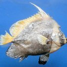 B206 80421 Singular bannerfish Heniochus singularius 170 mm Freeze Dried Taxidermy