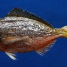 Gems Under the Sea 05452 Redbelly Yellowtail Fusilier Caesio cuning, 170 mm Freeze Dried Taxidermy