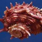 Gems Under the Sea 87352 Seashell Angaria poppei 40 mm