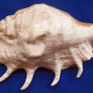 Gems Under the Sea 87361 Seashell Giant Spider Conch Lambis truncata 256 mm