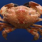 Gems Under the Sea 87366 White spotted reef crab Lophozozymus pictor 76 mm