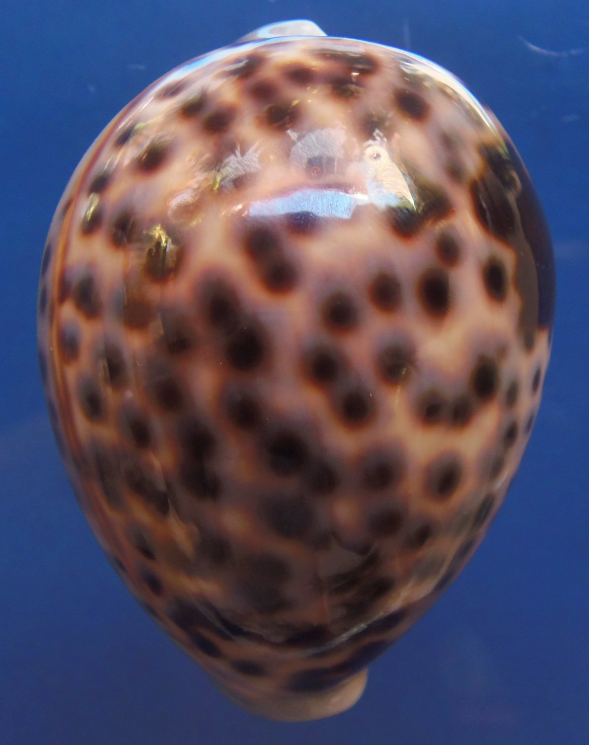 B251 Gems Under the Sea 87478  Cypraea tigris, 76 mm,big dots