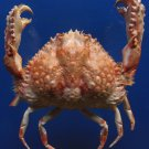 Gems Under the Sea 87383 Two Horn Box Crab Calappa bicornis  mm