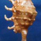 B252 Gems Under the Sea 87501  Lambis crocata, 89 mm