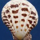 Gems Under the Sea 87397 Seashell Semipallium flavicans 43.4 mm