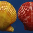Gems Under the Sea 87405 Seashell Scallop Mimachlamys sanguinea 20 mm