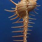 Gems Under the Sea 87407 Seashell Troschel's murex Murex troscheli 144 mm