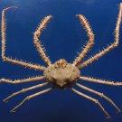 B289  20339 Spider Crab Cyrtomaia horrida, 37 mm