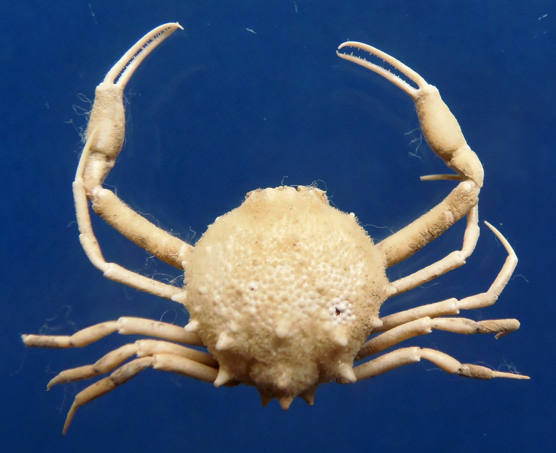 87549 Gems Under the Sea  Pariphiculus coronatus, 16.8 mm