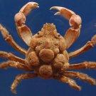87688 Gems Under the Sea  Sphenocarcinus species  74 mm