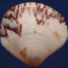 87712 Gems Under the Sea  Seashell Gafrarium aequivocum, 35.9 mm 32 mm