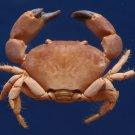 87714 Gems Under the Sea Crab Taxidermy Pseudozius caystrus 12.4 mm