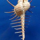 87744 Gems Under the Sea  Seashell Troschel's murex Murex troschelii, 150.5 mm