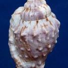 B257 87749 Gems Under the Sea  Strombus pipus, 57 mm