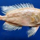 87775 Gems Under the Sea  Priacanthus tayenus, 145 mm