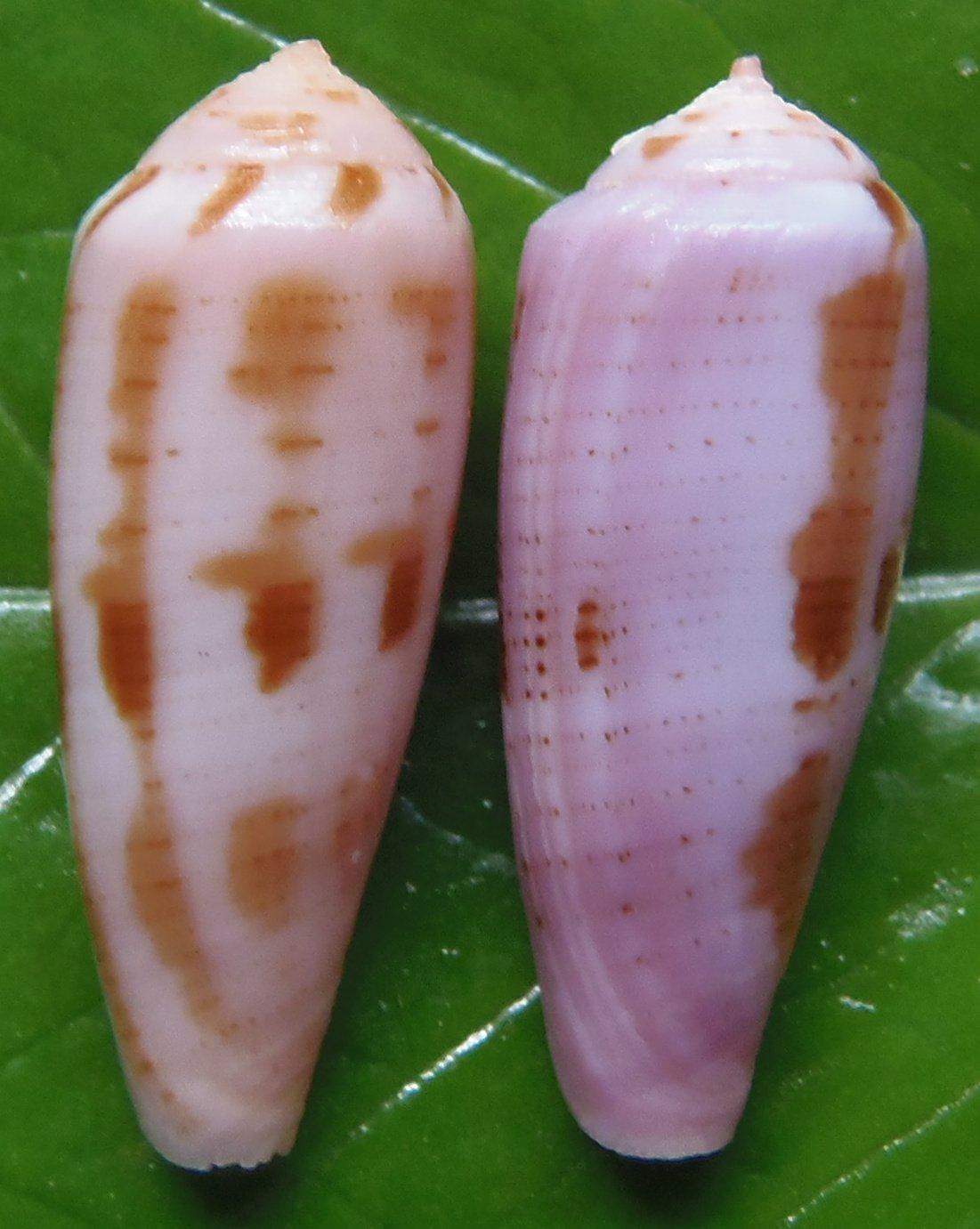87781 Gems Under the Sea Violet cone Conus viola 24-25 mm