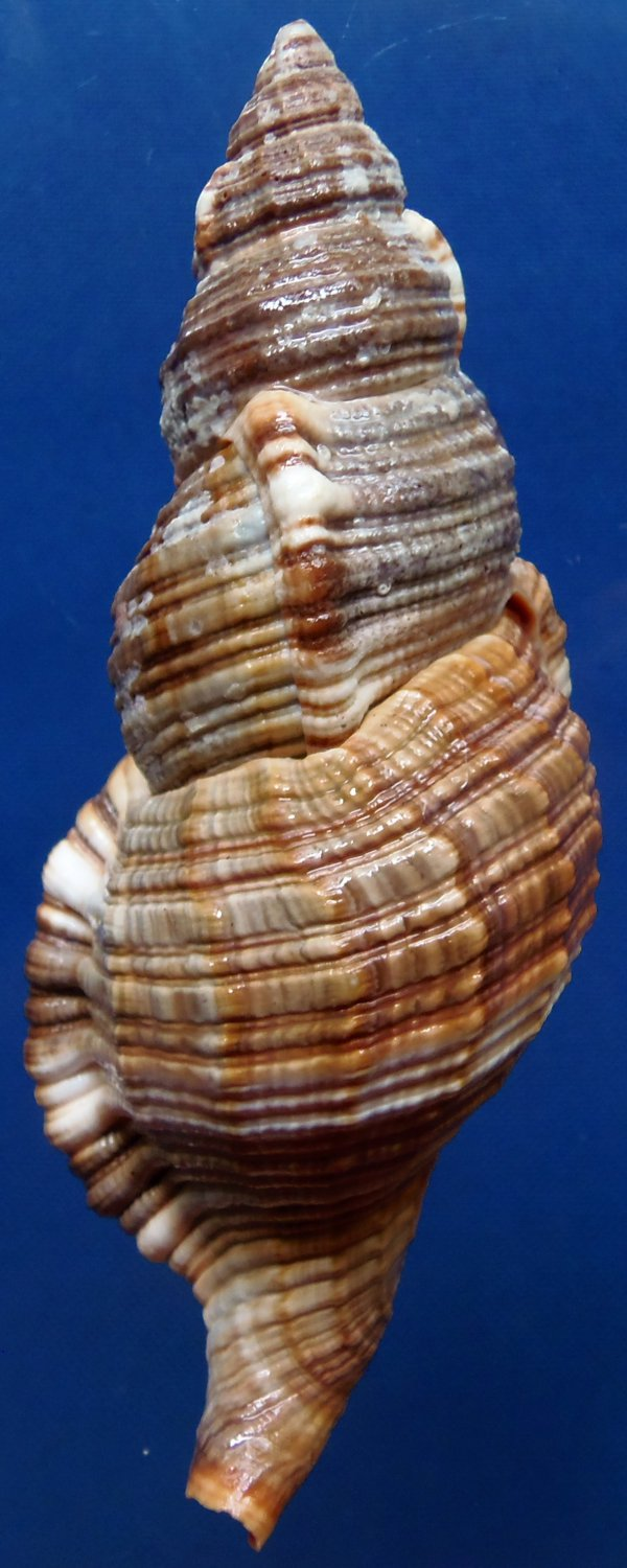 87790 Gems Under the Sea Seashell Monoplex pilearis, 116 mm