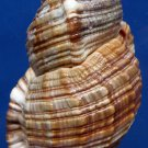 87790 Gems Under the Sea Seashell Monoplex pilearis, 116 mm