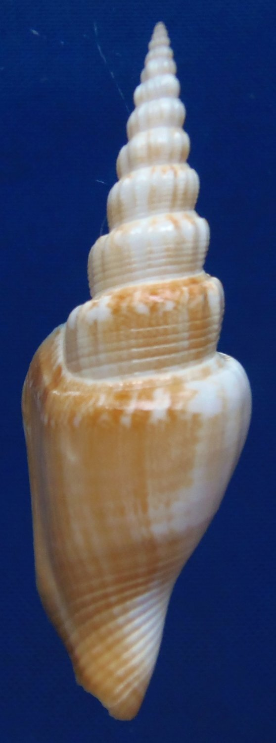 87792 Gems Under the Sea Seashell Vitate Conch Doxander vittatus entropi 58 mm