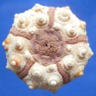 Gems Under the Sea 79070 Variable-spined Sea urchin Prionocidaris baculosa 32 mm