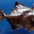 87803 Gems Under the Sea  Odonus niger, 200 mm