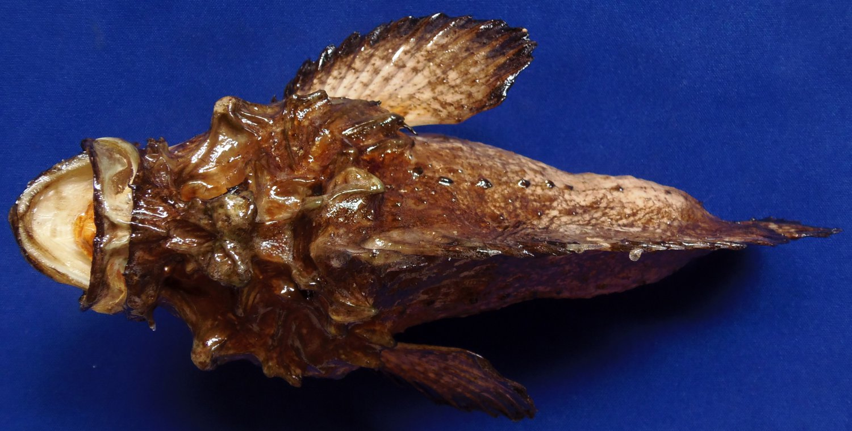 87832 Gems Under the Sea Hollow-cheek stonefish Synanceia horrida 240 mm