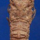 64034 Slipper lobster Eduarctus modestus, 50 mm