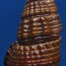 87840 Gems Under the Sea  Terebralia sulcata 40 mm