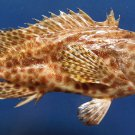 87845 Gems Under the Sea Honeycomb grouper Epinephelus merra, 160 mm