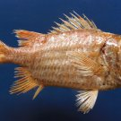 B259 87848 Gems Under the Sea Doubletooth Soldierfish Myripristis hexagona, 155 mm