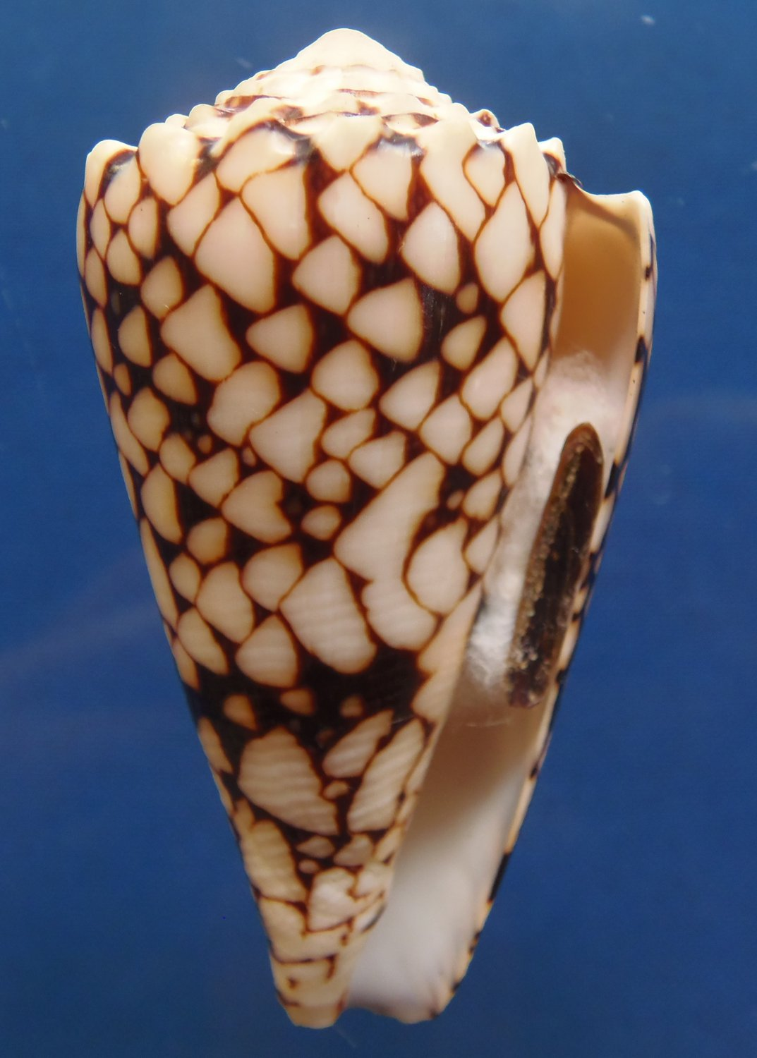 87854 Gems Under the Sea Seashell Banded Marble Cone Conus bandanus, 73 mm