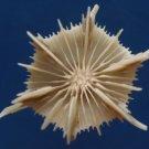 87864 Gems Under the Sea Marine Life Stephanocyathus spiniger 22 mm