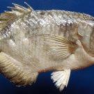 B271 87879 Gems Under the Sea Banded Archerfish Toxotes jaculatrix 225 mm