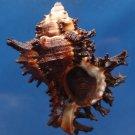 88005 Gems Under the Sea Seashell Endive Murex Hexaplex cichoreum, 66 mm