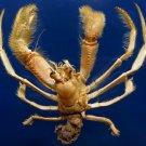 88021 Gems Under the Sea  Hermit crab 20 mm