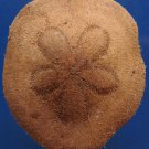 10009 Heart Urchin Clypeaster virescens 65 mm