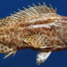 10021 Honeycomb grouper Epinephelus merra 160 mm