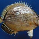 10022 Oval butterflyfish Chaetodon lunulatus 105 mm