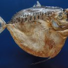 10024 Moonfish Mene maculata 150 mm