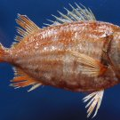 10025 Doubletooth Soldierfish Myripristis hexagona 149 mm