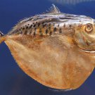 20010 Moonfish Mene maculata, 170 mm