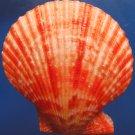 B263  10077  Noble Mimachlamys crassicostata 82 mm
