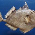 20030 Starry Triggerfish Abalistes stellaris, 160 mm