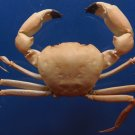 10098 Crab Taxidermy Carcinoplax crosnieri 37 mm