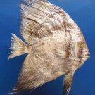 B264  20036 Circular batfish Platax orbicularis, 133 mm